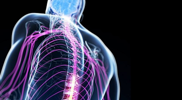 Sistema nervoso centrale e sistema nervoso periferico Vivavoce Focus
