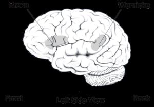 Linguaggio e cervello umano: aeree di Broca e Wernicke
